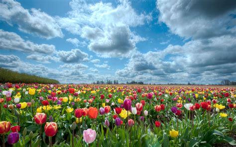 telecharger la meteo sur mon bureau gratuit fond ecran chs de tulipe wallpaper hd telecharger gratuit