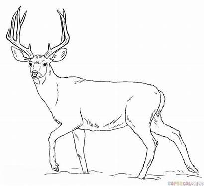 Deer Drawing Tail Draw Step Mule Getdrawings