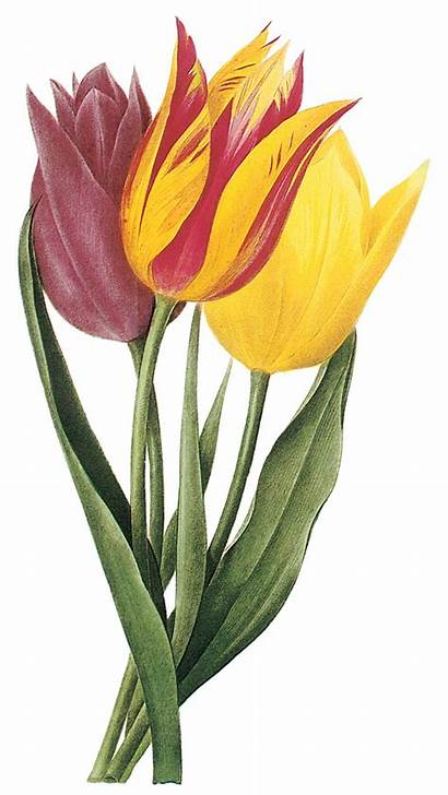 Spring Clipart Tulip Clip Borders Flowers Tulips