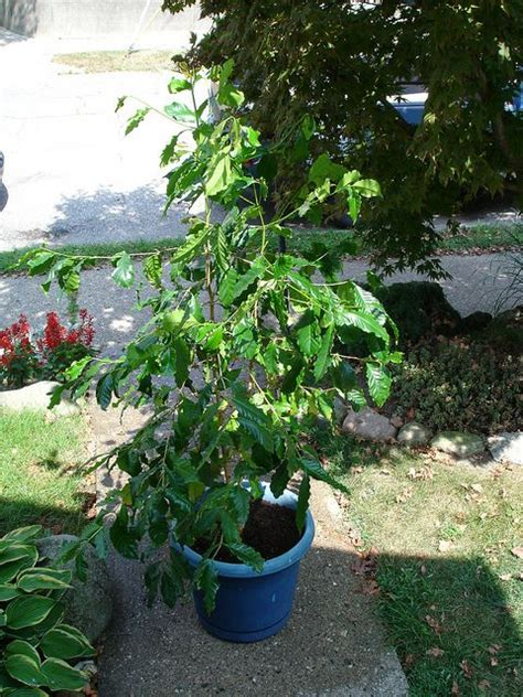 Although native to ethiopia, arabian coffee has been cultivated in arabia for over 1000 years. How to Grow Coffee Arabica in Containers