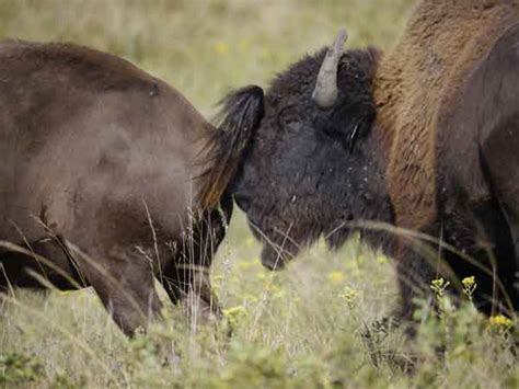 bison bull   cool green science