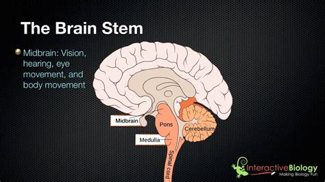 3 Sections Of The Brain by 027 The 3 Parts Of The Brain Stem And Their Functions