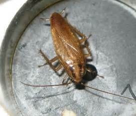 Tiny Adult Roach  Blattella Germanica  Bugguidenet. Cottage Living Room Images. Decorative Pictures For Living Room. Cheap Living Room Furniture. Bill Gates Living Room Aquarium. Live Chat Rooms Mobile. The Room Live Screening. Living Room Window Treatment. Black Leather Sofa Living Room Design