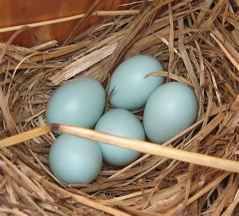 what color are bluebird eggs the backyard naturalist eastern bluebird nesting boxes