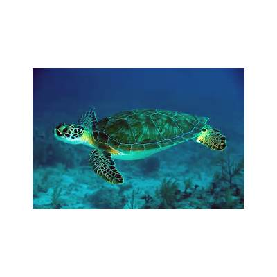 Lets Learn about Green sea turtles. – Journal Edge