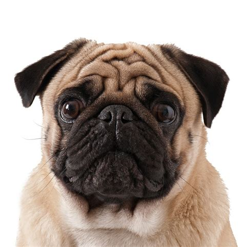 pug dog isolated   white background wall mural pixers