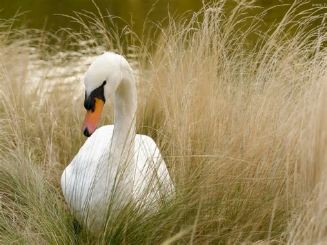beautiful white swan wallpaper hd wallpaperscom