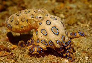 Greater Blue-Ringed Octopus | Project Noah