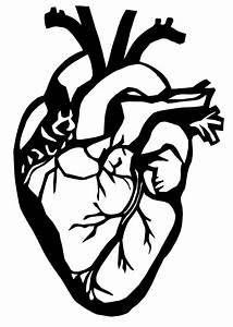 Anatomical Heart Pictures - Cliparts.co