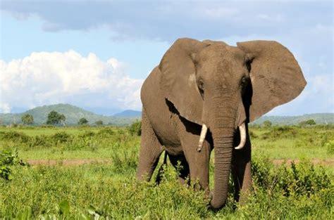 protecting elephants  tanzania international