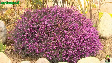 piante fiorite perenni da giardino perenni sempreverdi