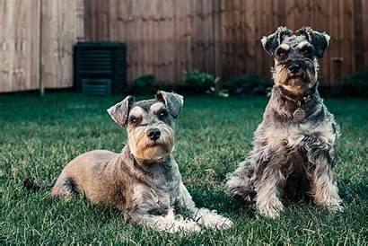 Schnauzer Giant Dogs Adult Puppies Facts