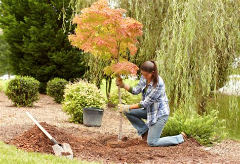 how can you plant a tree to a house new tree planting guide at the home depot