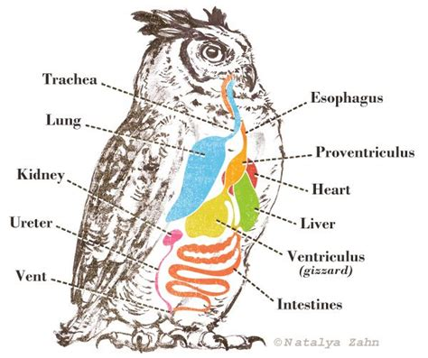 great horned owl digestion diagram illustrated