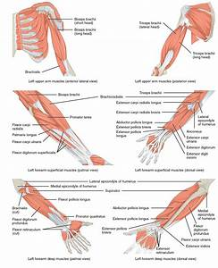 Muscles Of The Lower Arm And Hand