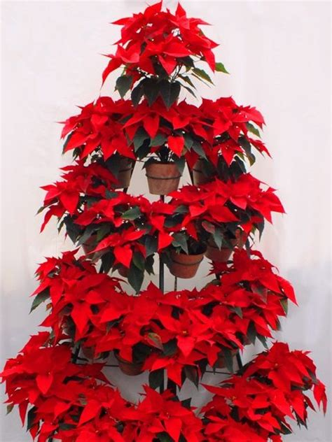 christmas tree   potted poinsettia plants