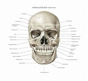 Anatomy of Skull Illustration | Anterior View Labelled ...