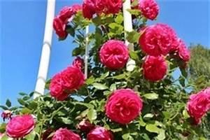Immergrüne Kletterpflanzen Winterhart : kletterpflanzen k nstler in wuchs farbe ~ Eleganceandgraceweddings.com Haus und Dekorationen