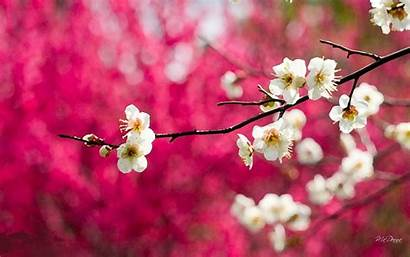 Cherry Desktop Blossom Blossoms Background Painted Wide