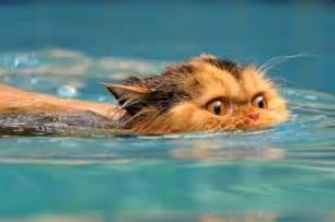 cats aquatics swimming cats are so 29 pics izismile