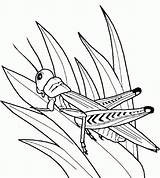 Coloring Grasshopper Insect Bug Template Kleurplaten Kleuren Grasshoppers Insecten Krekel Zomeractiviteiten Bugs Kinderen Boswezentjes Tekening Roofdier Tekeningen Praying Mantis Popular sketch template