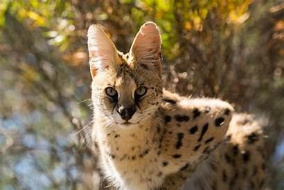 Exotic Serval Animals Right Bc Cat Spca