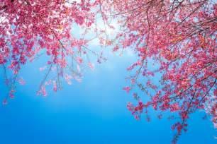 baum mit rosa blüten netter baum zweige mit rosa bl 252 ten der kostenlosen fotos