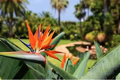 Plants Tropical Flower Hawaiian Strelitzia Island Tenerife
