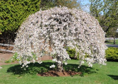 weeping cheery tree weeping cherry tree dream home stuff pinterest