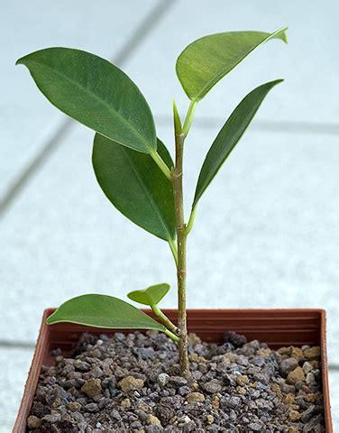 baum stecklinge ziehen bonsai bonsai steckling bonsai stecklinge anleitung bonsai steckling gro 223 ziehen steckling f 252 r