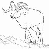Sheep Coloring Dall Outline Bighorn Printable Drawing Line Realistic Horn Ram Mountain Animals Supercoloring Horns Tundra Rams Template Rocky Sauti sketch template