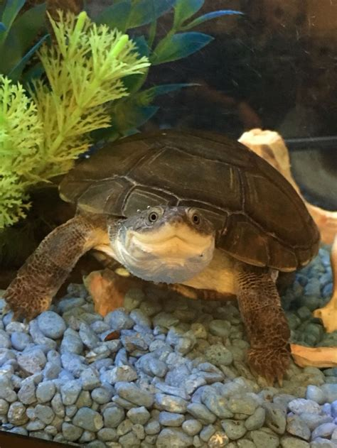 sideneck turtle top 25 ideas about turtles tortoises on pinterest box turtles yellow belly turtle and baby