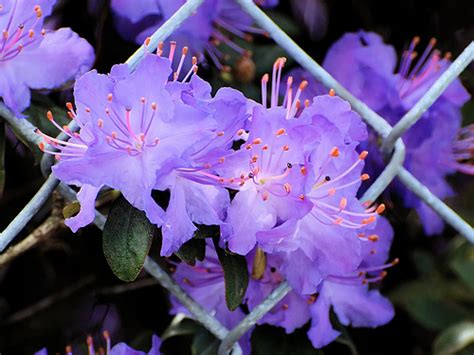 Azalea with Purple Flowers
