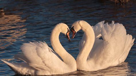Cute Swans Hd Birds Wallpapers Hd Wallpapers Id 52045