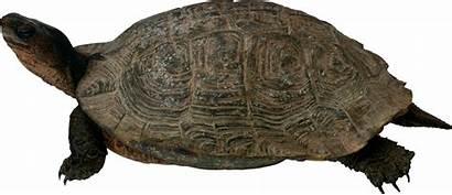 Pngimg Turtle