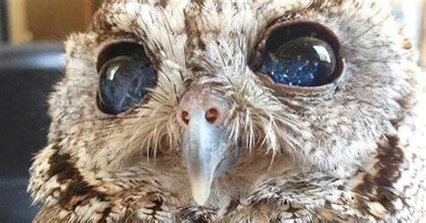 meet zeus rescued blind owl  starry eyes