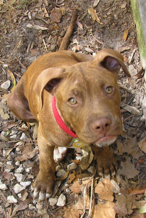 pits pictures pit bulls images young mr boots hd wallpaper and background photos 15650464