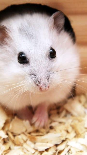 Cute Baby Hamster Picture Desktop Hd Wallpapers Download