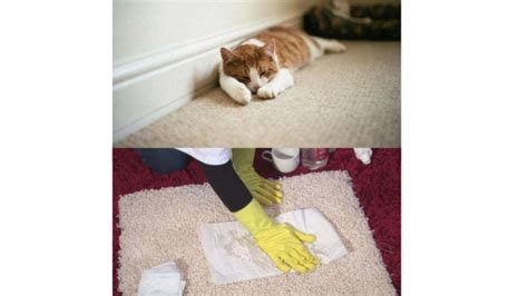 Remove Cat Urine Smell From by How To Get Cat Urine Out Of Carpet How To Remove Cat