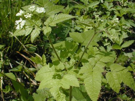 Aniseroot (osmorhiza Longistylis