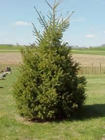 douglas fir tree pictures