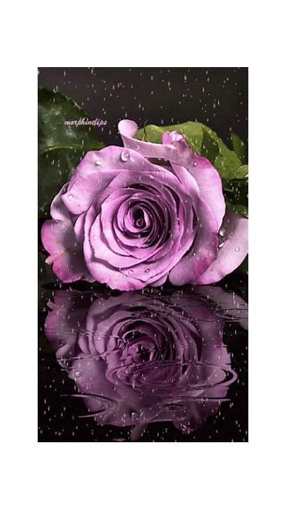 Rosas Purple Rose Flowers Roses Flores Agua