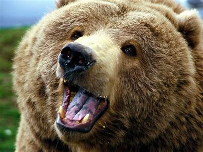 Bear Angry Animals Wallpapers Grizzly Bears Brown
