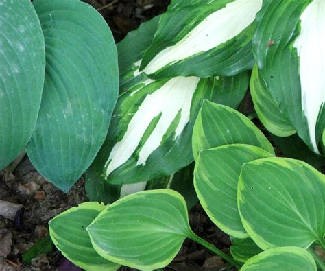 hosta varieties hosta plant gallery