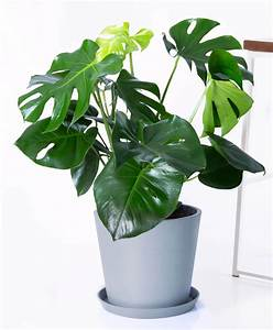11, Best, Large, Indoor, Plants, You, Must, Have, In, Your, Home