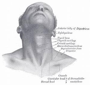 Illustrations  Fig  1195  Gray  Henry  1918  Anatomy Of