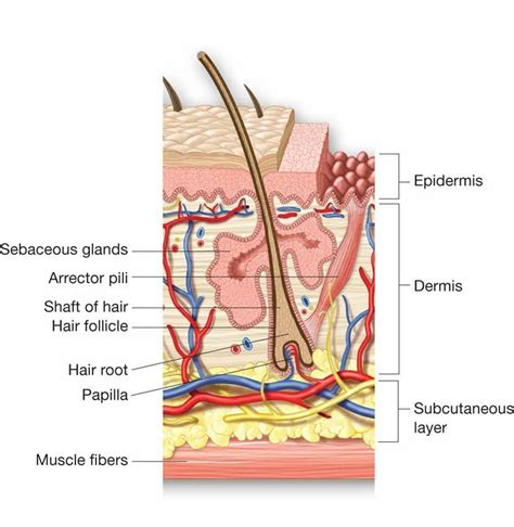 integumentary system flash cards at malcolm x college