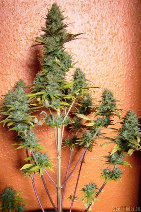 Pineapple Express Auto (von G13 Labs) :: Cannabis Sorten Info