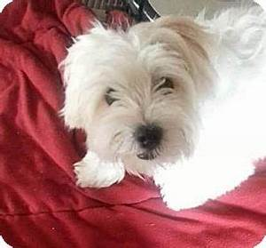 Manchester, NH - Maltese/Yorkie, Yorkshire Terrier Mix ...