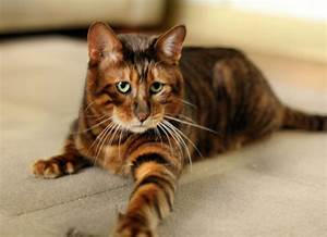 Toyger - Information, Health, Pictures & Training Pet Paw  Domestic